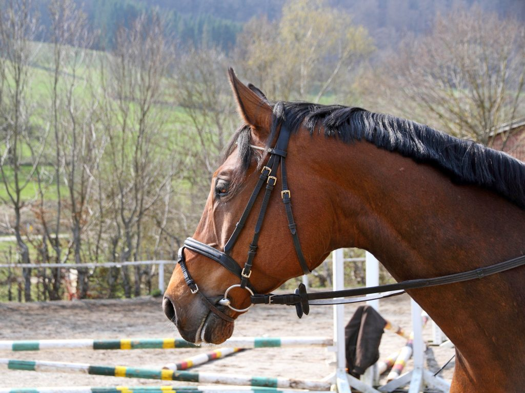 Kopf eines braunen Pferdes